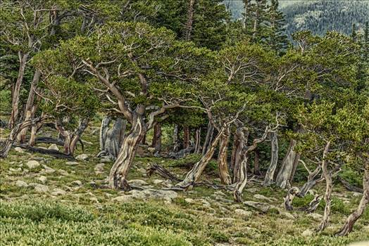 Mt. Evans Old Trees